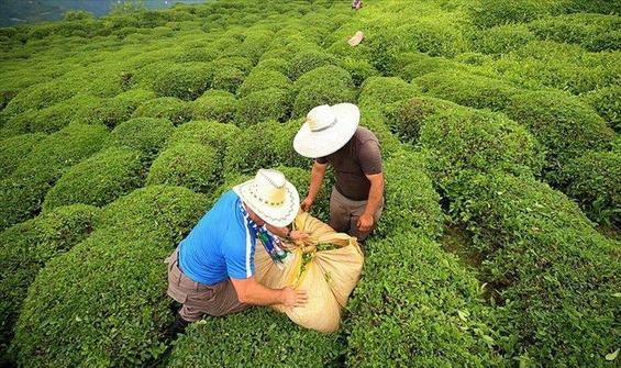 Rize, çay ihracatından 8,9 milyon dolar kazandı