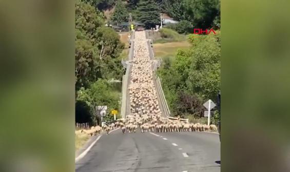 Trafiği kapatan kuzu sürüsü böyle görüntülendi