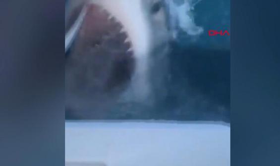 Dev köpekbalığı tekneye böyle saldırdı