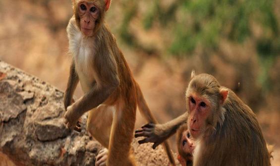 Hırsız maymun krizi: 8 günlük bebeği kaçırdı