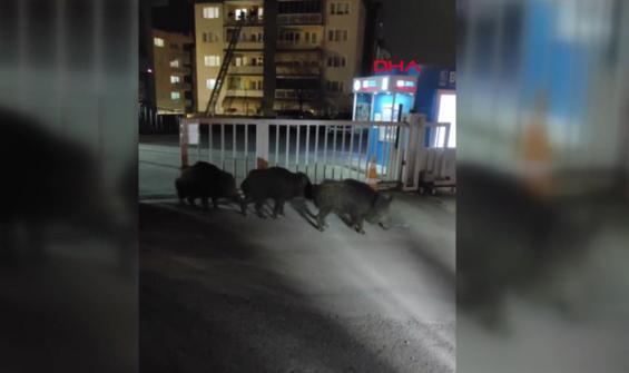 Aç kalan domuz sürüsü kente indi
