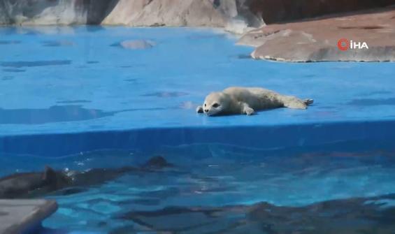 Çin'de bir parkın ilk benekli fok yavrusu doğdu