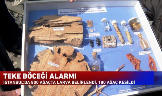 İstanbul'da teke böceği alarmı!