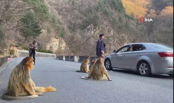 Dağdan inen altın maymunlar, yol kapattı