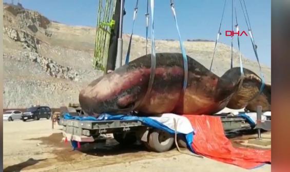 Kıyıya vuran 40 tonluk ölü balina paniğe neden oldu