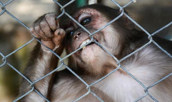 Antalya'da kafesten kaçan maymun dehşet saçtı