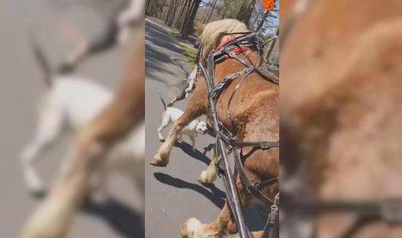 Ata saldıran köpek neye uğradığını şaşırdı