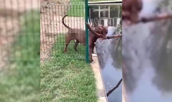 Güvenliğe öncelik veren köpeğin zor görevi kamerada