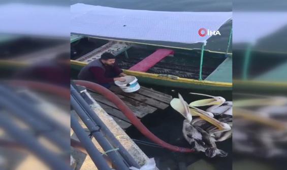 Balıkçının pelikanları elleriyle beslediği anlar kamerada