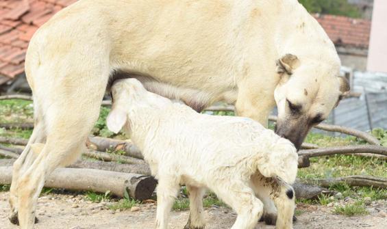 Yürekleri ısıttı! Çoban köpeği 'Kezban'ın süt annesi oldu
