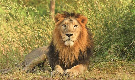 Türünün ilk örneği! Ülkede bir şok daha: 8 aslan pozitif!