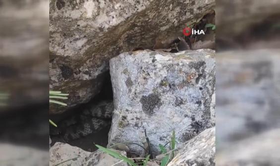 Kayaların arasındaki dev yılanı böyle görüntüledi
