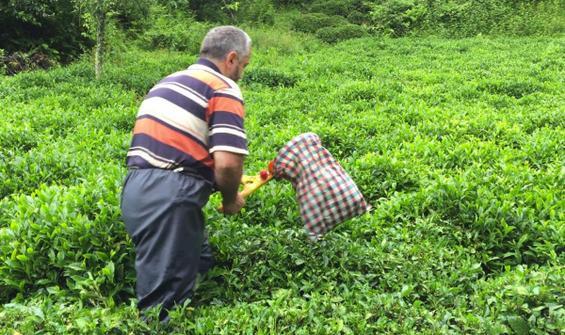 ÇAYKUR, 600 kilo çay alacak