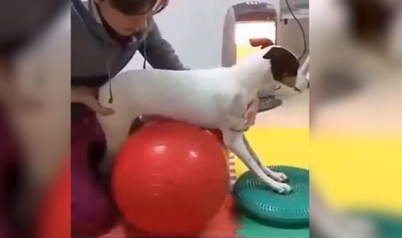 Felçli köpeğin tedavi edilerek yürüme serüveni