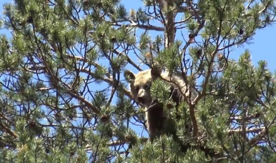 25 metre ağaca tırmanan ayı kamerada