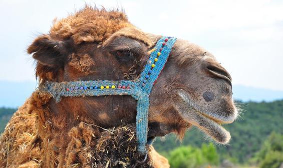 Şampiyon deve 'Çapkın' kurbanlık oldu
