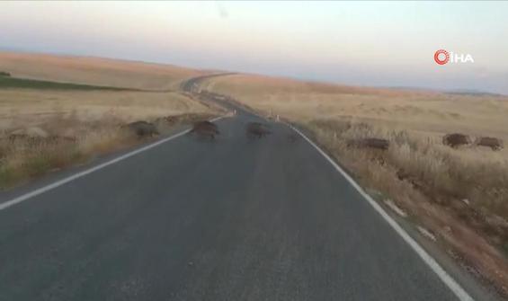 Yolda görülen domuz sürüsü şaşırttı