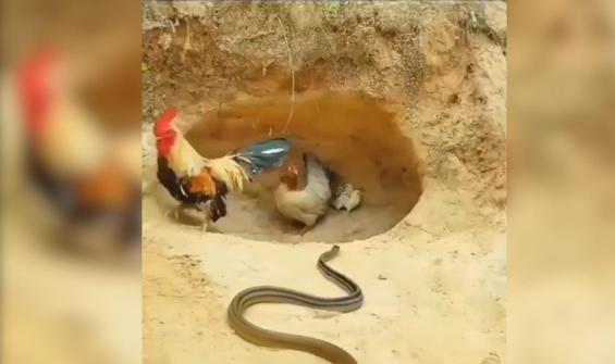 Yılanı görünce horoz kaçtı, tavuk ise yavruları için savaştı