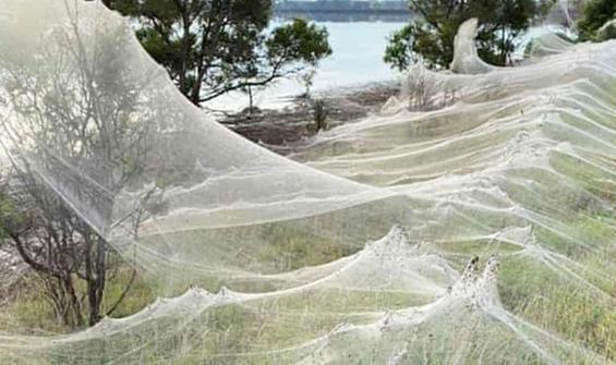 Şoke etti: Bütün bölge örümcek ağlarıyla kaplandı