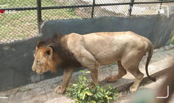 Koronavirüs ikinci kez bir aslanın canını aldı
