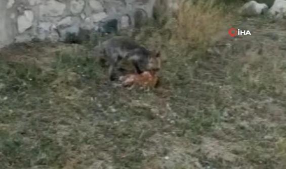 Sahibinin önünde tavuğunu yiyen tilki bahçede dinlendi