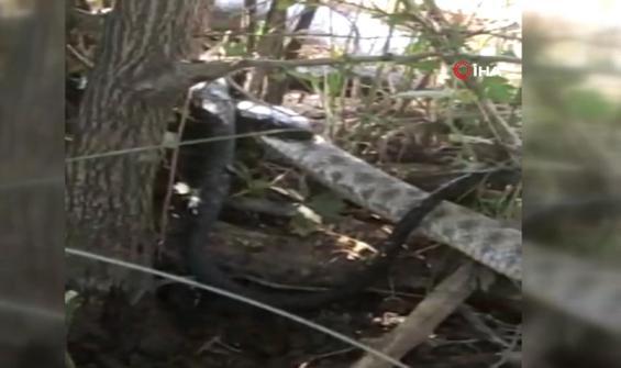 İki metrelik yılanı yiyen siyah yılan kamerada