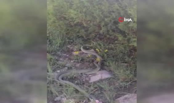 Dev yılanların çiftleşme dansı kamerada