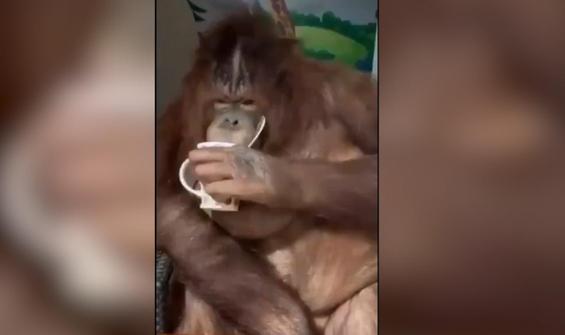 Keyfine düşkün orangutanın insansı tavırları gülümsetti