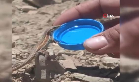 Kertenkele vatandaşın uzattığı suyu kana kana böyle içti