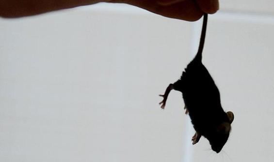 Milyonlarca fare ülkeyi esir aldı