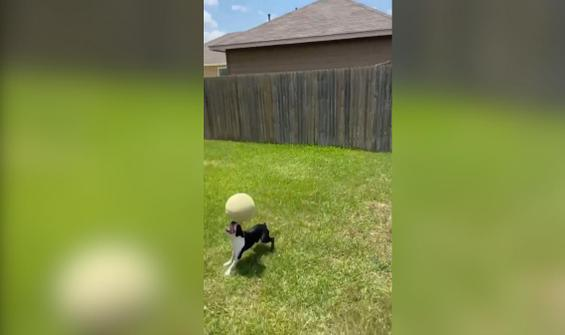 Topu burnunda defalarca sektiren köpek kamerada