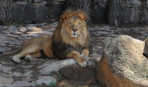 Kafesinden kaçan aslanın durumu açıklandı