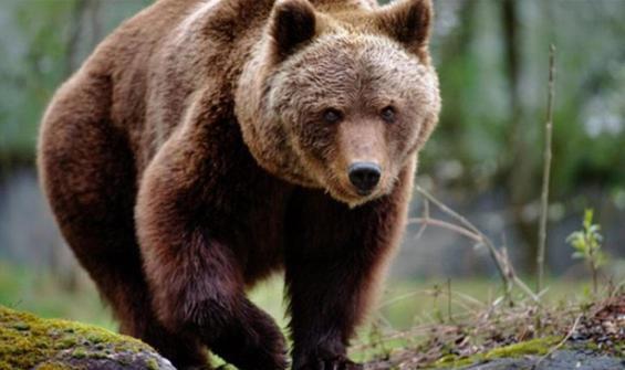 Danıştay'dan 'ayı saldırısı' kararı! Tazminat ödenecek