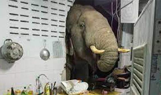 Aynı eve ikinci ziyaret! Acıkan fil, evin mutfağını bastı