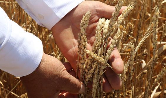 Buğday hasadı beklentiyi karşılamadı!