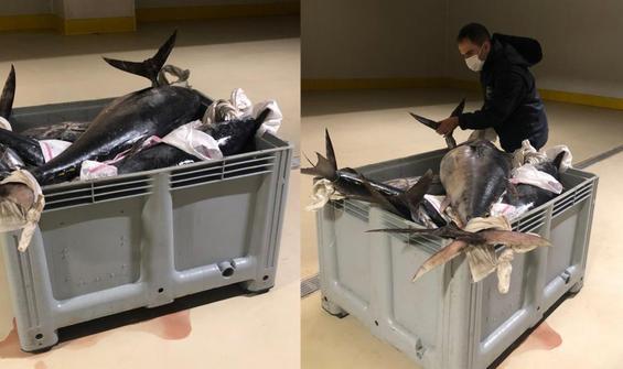 600 kilo orkinos balığına el konuldu