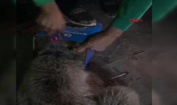 Kafası teneke kutuya sıkışan yavru ayı kurtarıldı