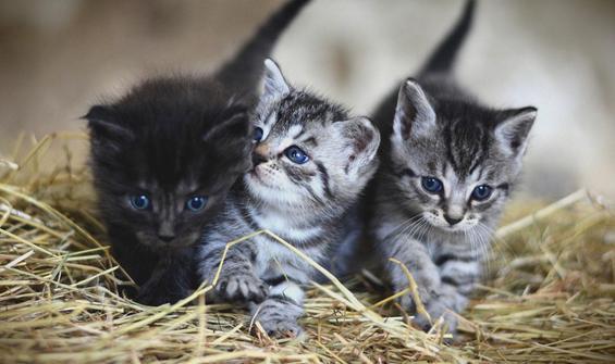 İngiltere'de ortaya çıktı! Gizemli kedi hastalığı