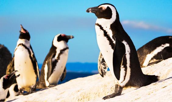Arılar nesli tükenmekte olan 63 pengueni öldürdü