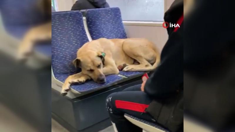 Tramvayın en tatlı yolcusu böyle uyudu...