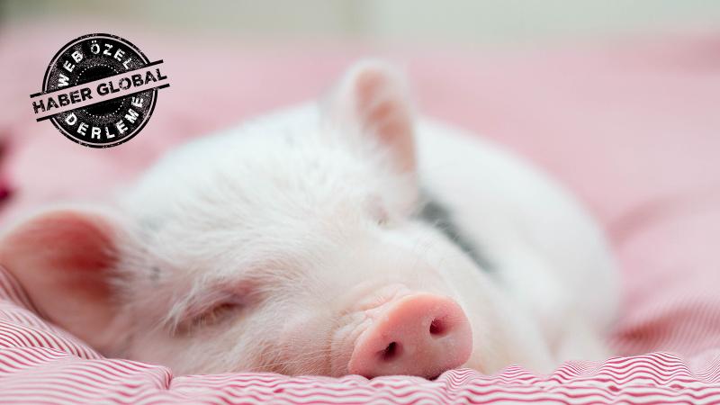 Yavru domuza 100 gün boyunca baktı, yaptığı YouTube'da herkesi dehşete düşürdü!
