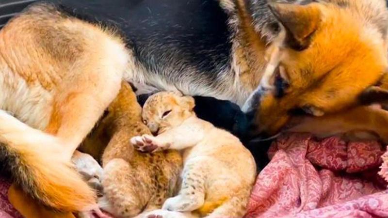 Anne aslan terk etti, köpek sahip çıktı