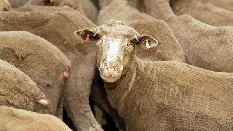 226 koyuna ötenazi çiftçinin başını yaktı
