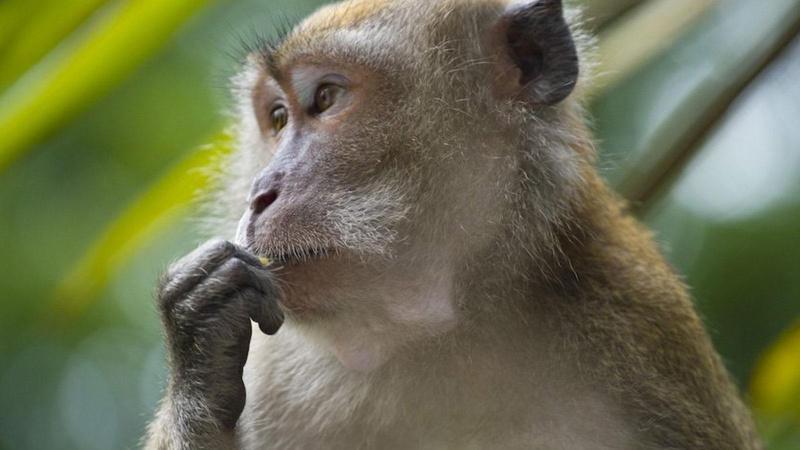 Dişi makak maymunu erkeğe meydan okuyarak alfa oldu