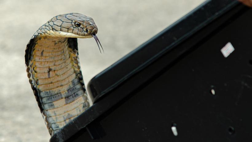 Çıngıraklı yılandan kurtulan eşini öldürmek için kobra kiraladı