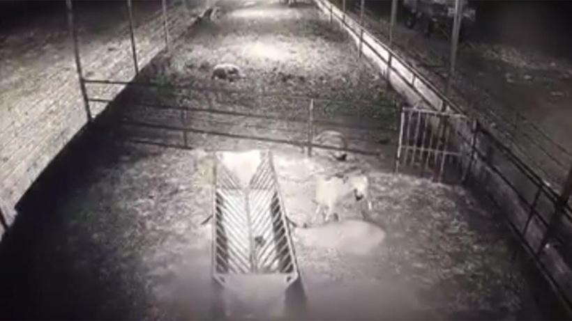 Dehşete düşüren anlar! Koyun sürüsüne kurt saldırdı