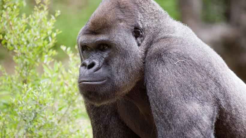 ABD'de koronavirüslü gorillere 'hayvanlara özel Kovid-19 aşısı' yapılacak
