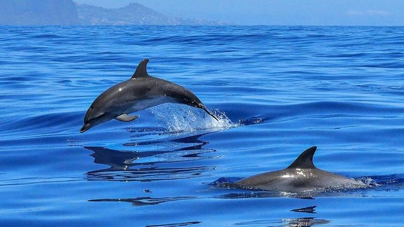 Faroe Adaları'ndaki Grindadrap Festivali'nde bin 428 balina ve yunus katledildi