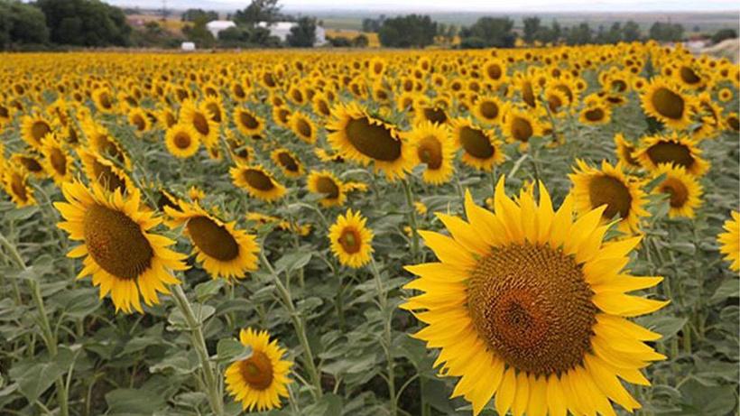 Trakya Birlik ayçiçeği avans fiyatlarını açıkladı