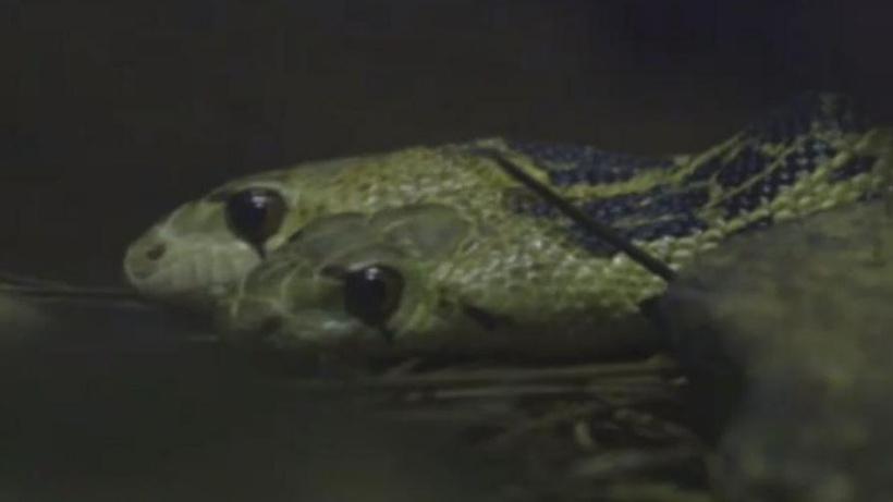 İki kafalı yılan Harvey hayatını kaybetti
